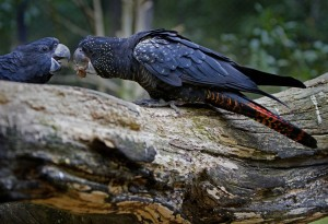 Blauer Kakadu